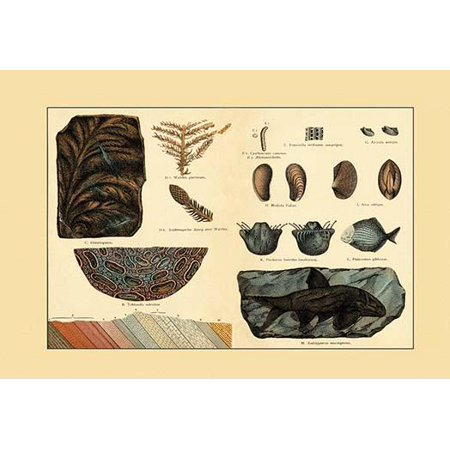 A collection of fossil plants and organisms  Including types of fish clams coral and plants Poster Print by unknown