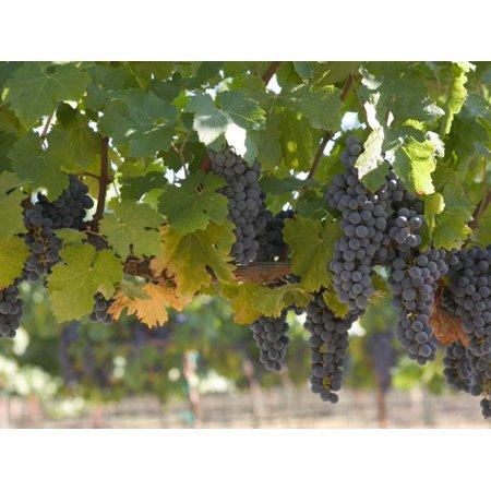 Chardonnay Grapes, Yountville, Napa Valley, California Print Wall Art By Walter Bibikow