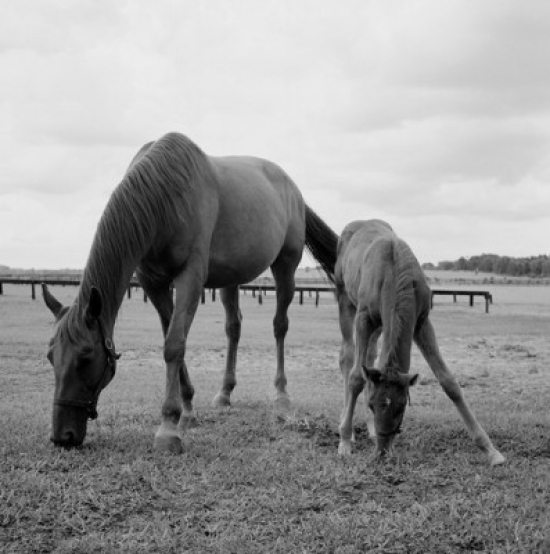 Horse and colt grazing on pasture Poster Print