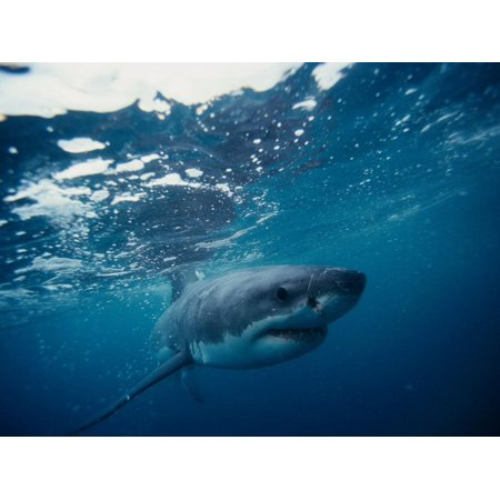 Great White Shark, South Africa Print Wall Art By Stuart Westmorland ()