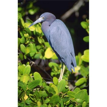 Posterazzi DPI1793106LARGE Little Blue Heron Poster Print by John Pitcher, 22 x 34 - Large - image 1 de 1
