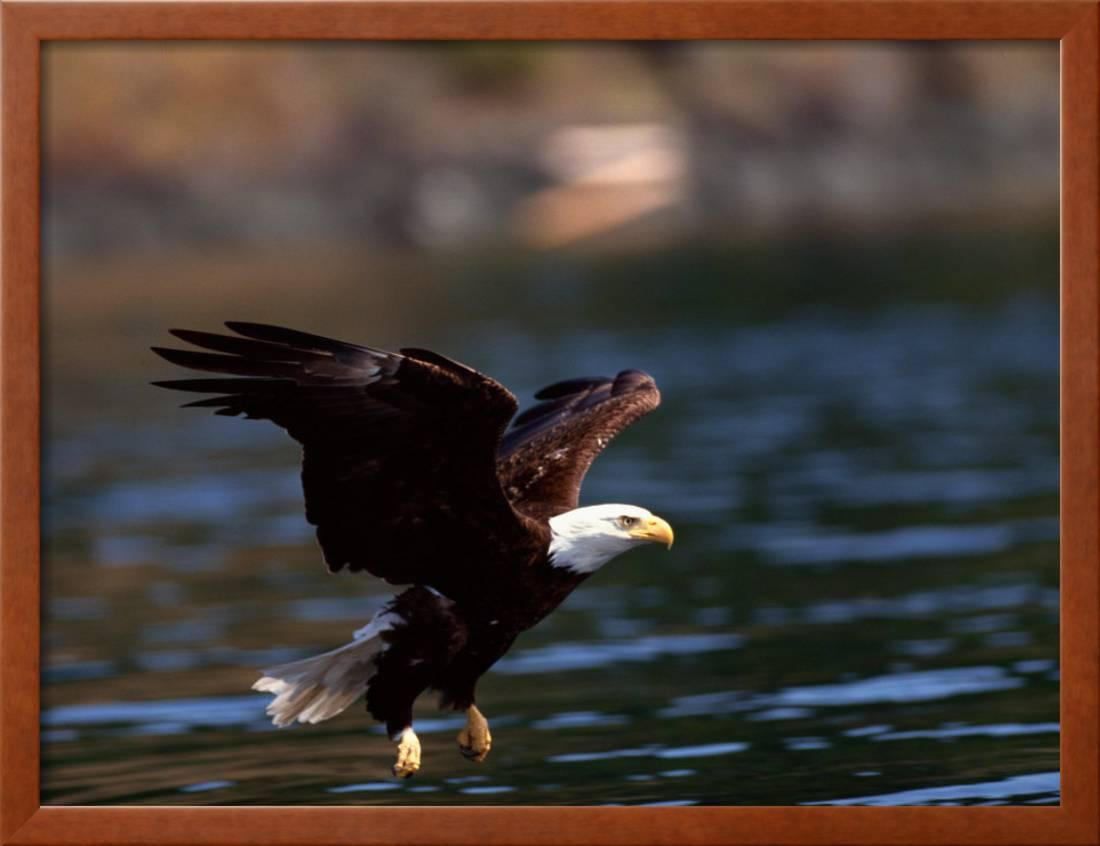9312e66d8e33 Bald Eagle Swooping Down to River to Get Fish Framed Print Wall Art -  Walmart.com