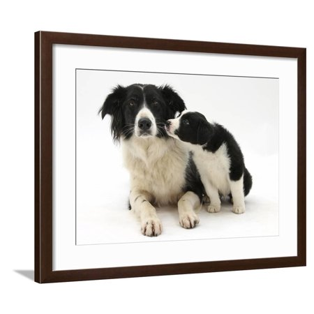 Black-And-White Border Collie Bitch, and Pup, 6 Weeks Framed Print Wall Art By Mark Taylor