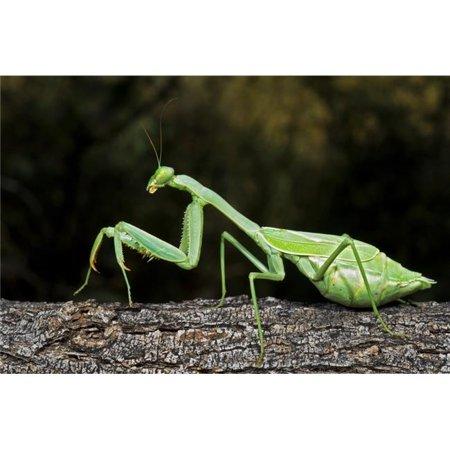 Posterazzi DPI1827190LARGE Praying Mantis Perched On A Tree Poster Print by Jack Goldfarb, 34 x 22 - Large - image 1 de 1