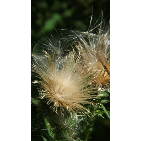 Laminated poster white thistle nature flower thistle fluff plant laminated poster white thistle nature flower thistle fluff plant poster 24x16 adhesive decal mightylinksfo