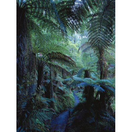New Zealand, Rainforest, Vegetation, Tree Ferns, Cyatheaceae Print Wall Art By