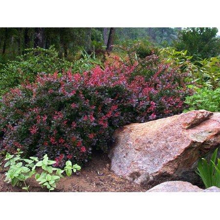 Crimson Pygmy Barberry Perennial Berberis Very Hardy