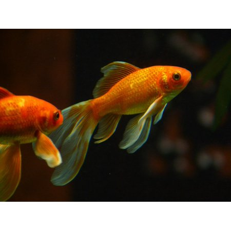 Laminated Poster Swim Veiltail Goldfish Aquarium Fish Print 24 X 36