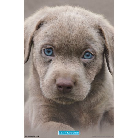 Trends International Puppy Blue Eyes Wall Poster 22.375