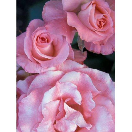 Pink Rose Trio at Bellevue Botanical Garden, Washington, USA Print Wall Art By Jamie & Judy Wild