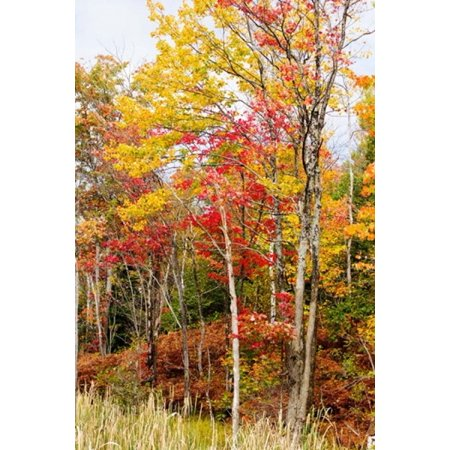 Image of Colorful trees in the forest during autumn Muskoka Ontario Canada Canvas Art - Panoramic Images (24 x 36)