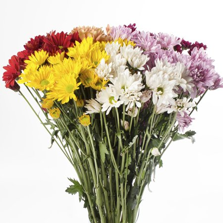 Natural Fresh Flowers - Assorted Daisies, 60 Stems ()