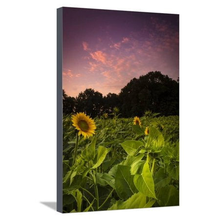 Sherbet Sunflowers Stretched Canvas Print Wall Art By Eye Of The Mind (Sherbet Stem)
