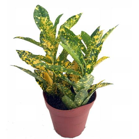 Gold Dust Croton   3  Pot   Colorful House Plant