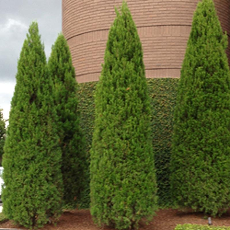 Emerald Green Arborvitae Bush, Thuja occidentalis, Live S...