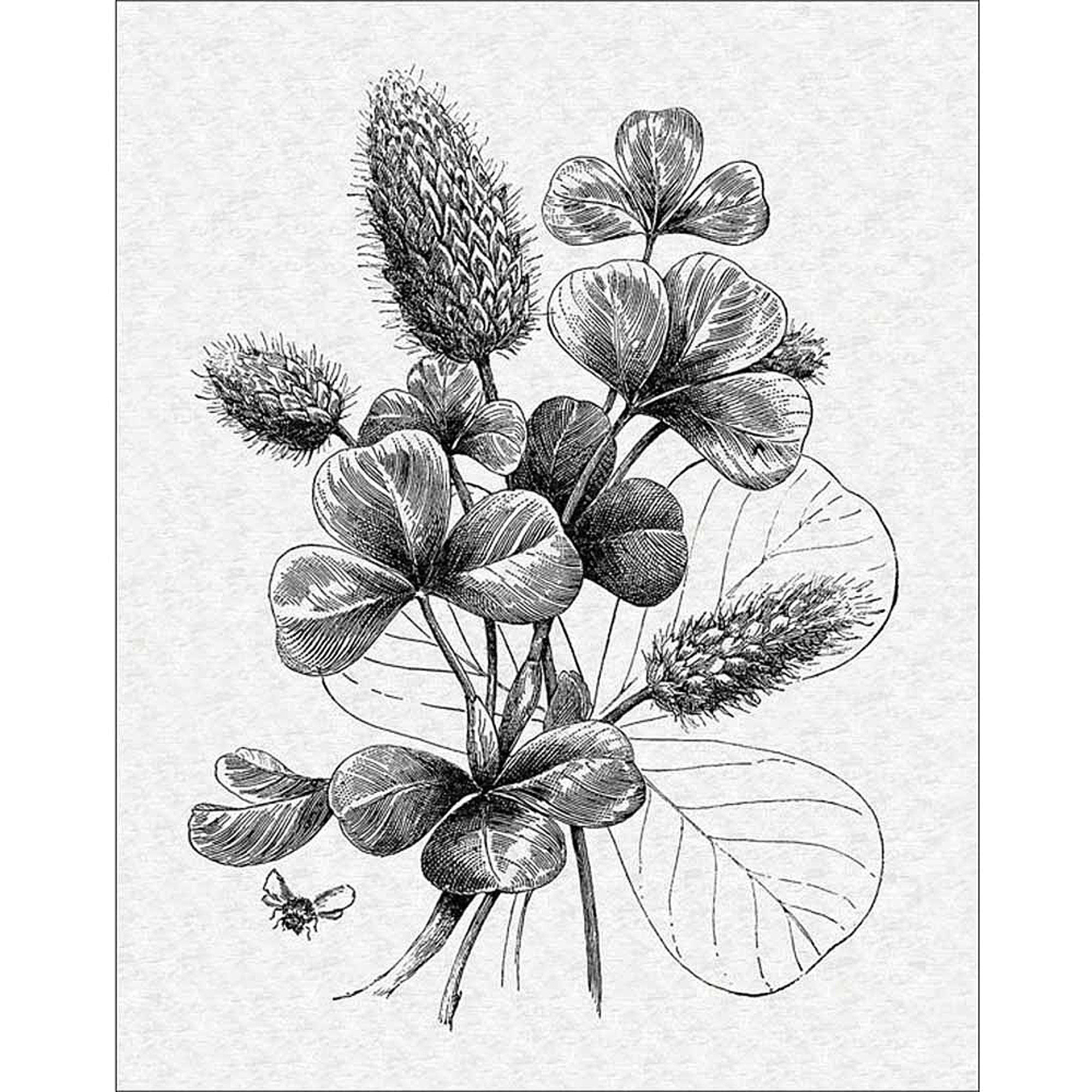 Vintage Clover Flower Engraving With Bees Black White Canvas Art
