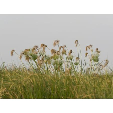 Papyrus Plants - Close-up of Papyrus plants Okavango Delta Ngamiland Botswana Poster Print