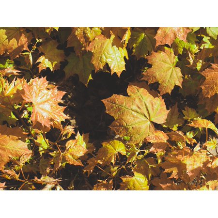 Laminated Poster Fall Colors Autumn Maple Bush Foliage Poster Print