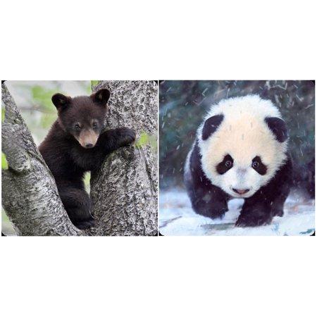 Panda Bear Cub and Black Bear Cub - 3D Lenticular Maxi Magnet Card