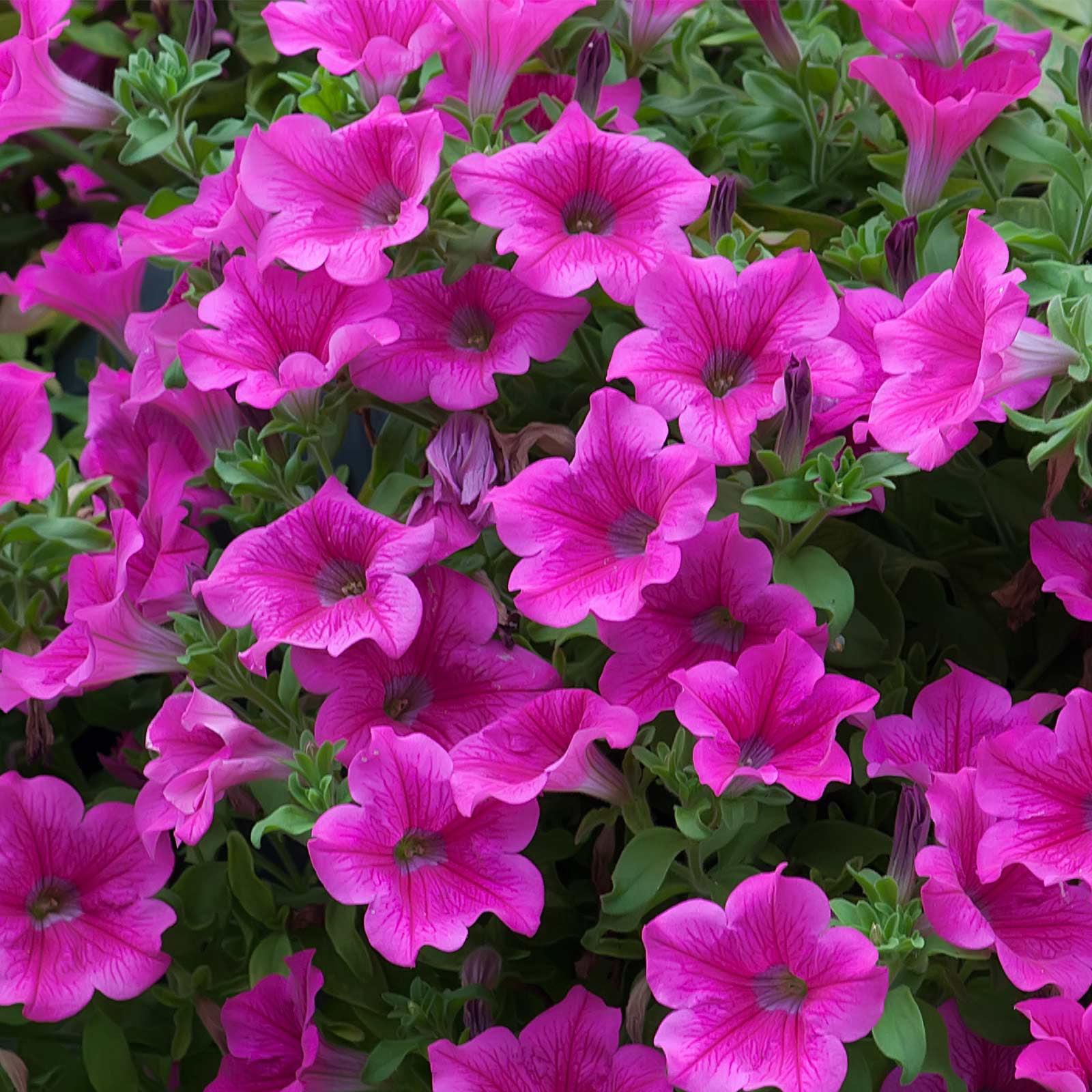 Petunia - Supercascade Series Flower Garden Seed - 1000 Pelleted ...