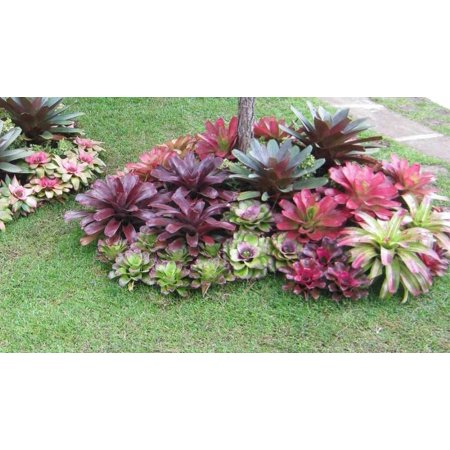 Image of 5in Tropical Bromeliad
