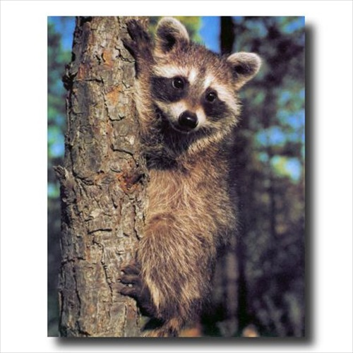 Raccoon On Tree Kids Country Wall Picture Art Print