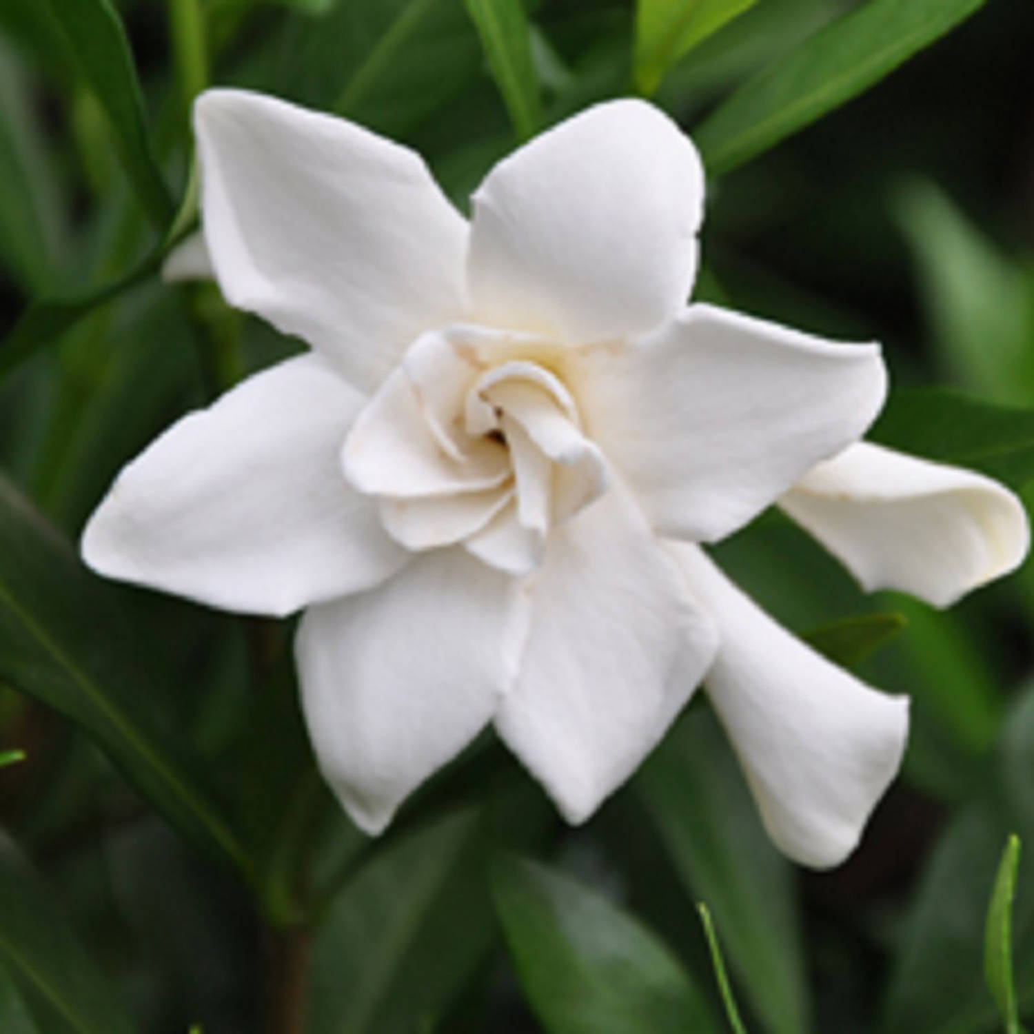 Frost Proof Gardenia, Fragrant White Blooming Evergreen Shrub