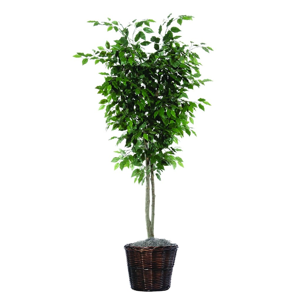 6 ft. Ficus Deluxe Tree