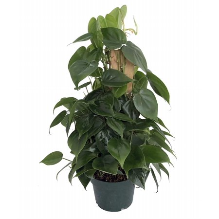 Philodendron Leaves (Topiary Heart Leaf Philodendron - Easiest House Plant to Grow - 6