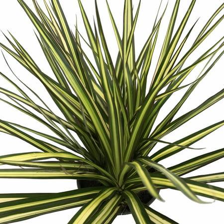 Kiwi Dragon Tree   Dracaena Marginata   6  Pot   Easy To Grow House Plant