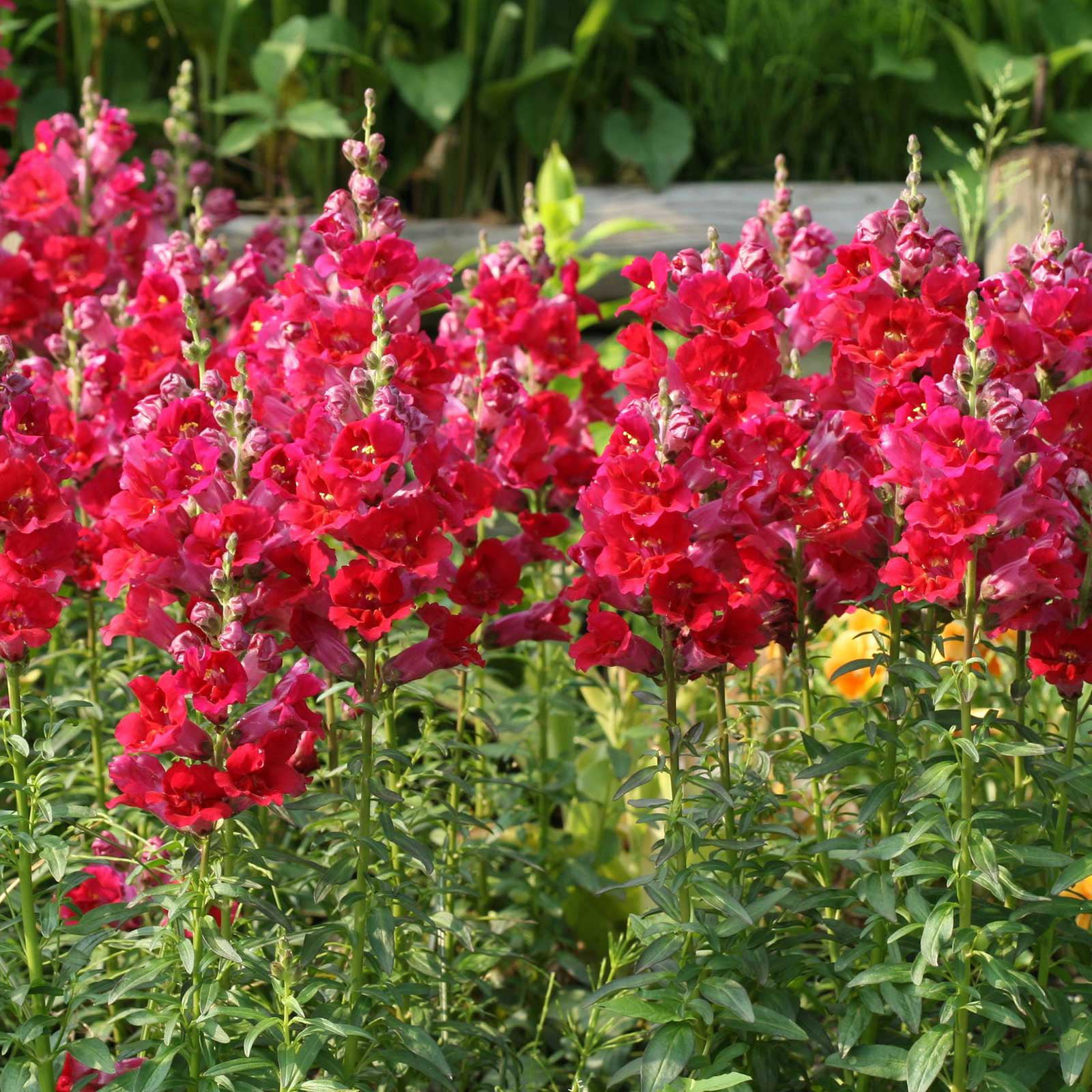 Snapdragon Flower Seeds Sonnet Series F1 1000 Seeds Crimson