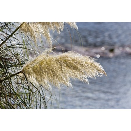 LAMINATED POSTER Ornamental Pampas Grass Ornamental Grass Tall Grass Poster Print 24 x (Tall Ornamental Grasses For Privacy Zone 6)