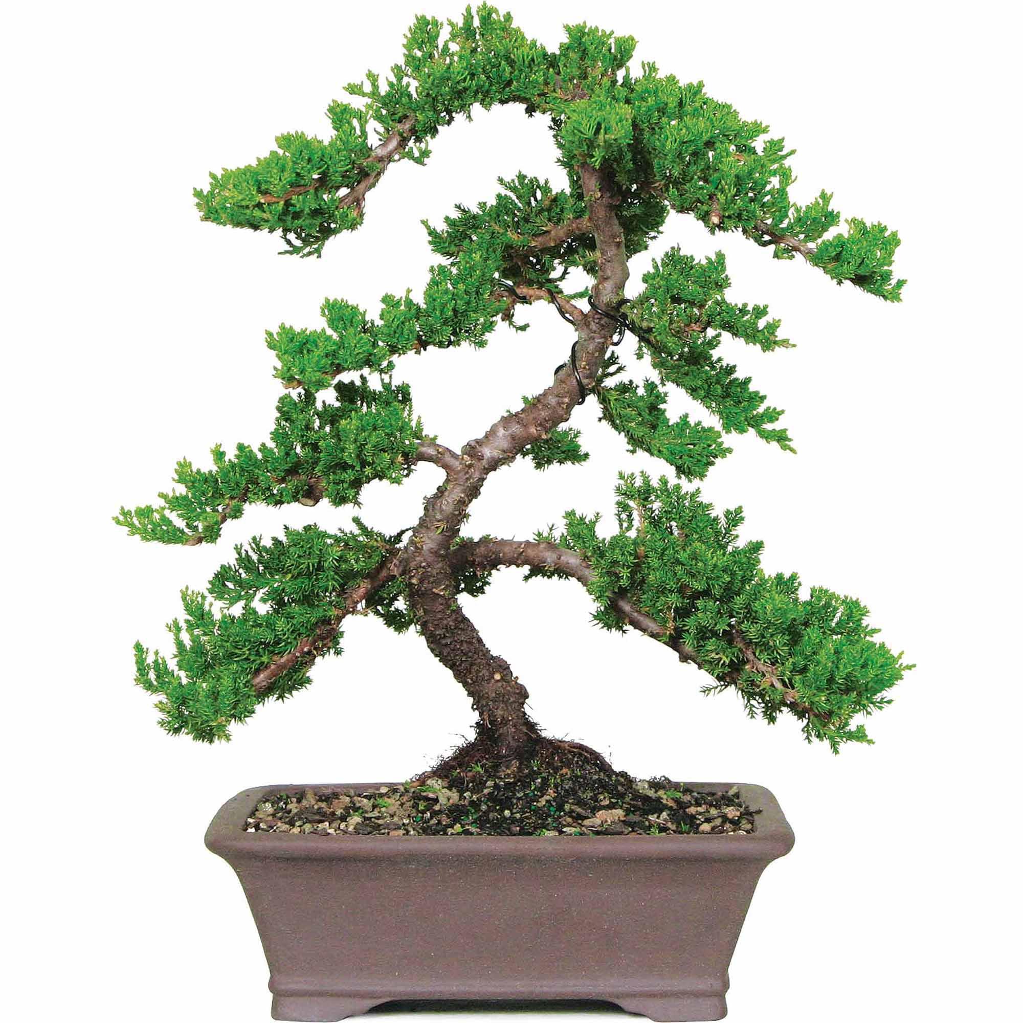 juniper bonsai indoor