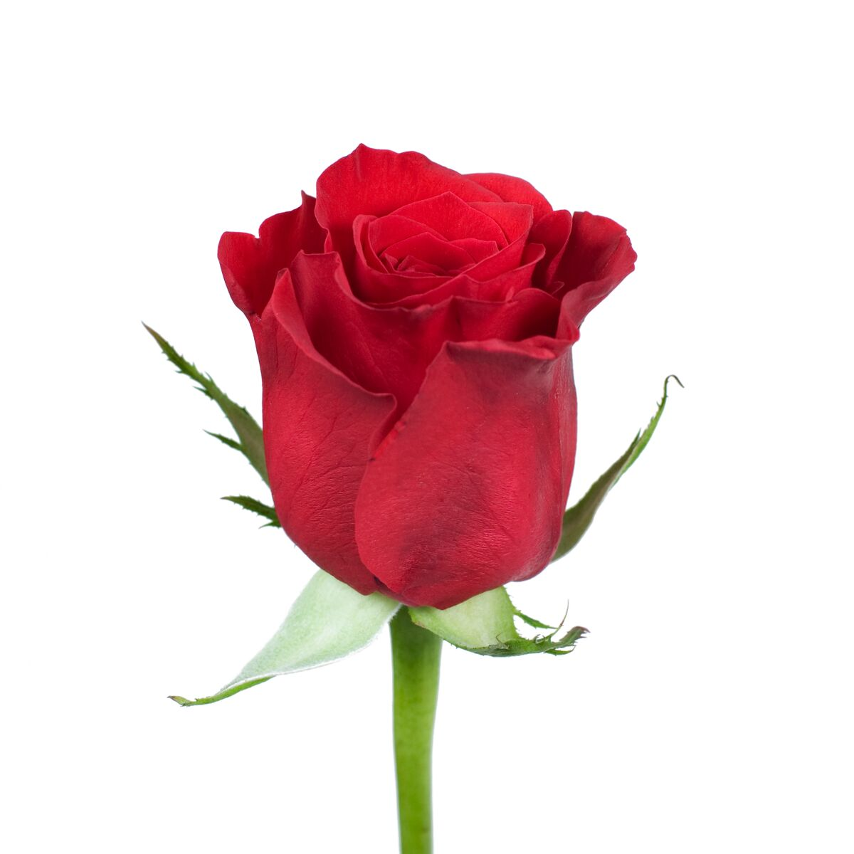 """Natural Fresh Flowers - Red Roses, 16"""", 125 Stems"""
