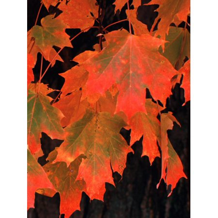 Sugar maple leaves in fall, Vermont, USA Print Wall Art By Charles (Maple Leaf Vermont)