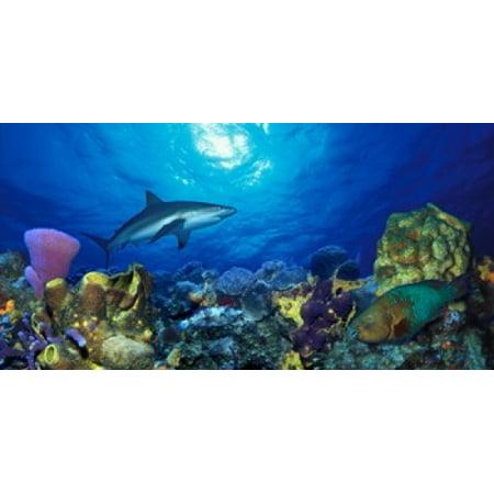 Rainbow Reef Shark - Caribbean Reef shark (Carcharhinus perezi) Rainbow Parrotfish (Scarus guacamaia) in the sea Stretched Canvas - Panoramic Images (12 x 6)