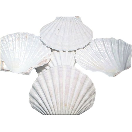 Set of 6 X-Large White Baking Scallop Shells (4-5