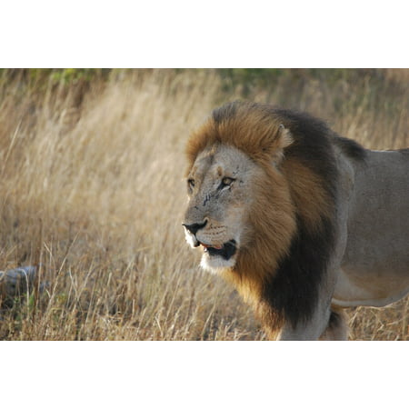 LAMINATED POSTER Wildlife South Africa Lion Travel Safari Africa Poster Print 24 x