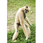 White Gibbon Journal: 150 Page Lined Notebook/Diary