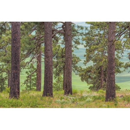 USA, Washington State, Palouse Hills. Pine Forest Scenic Print Wall Art By Don Paulson