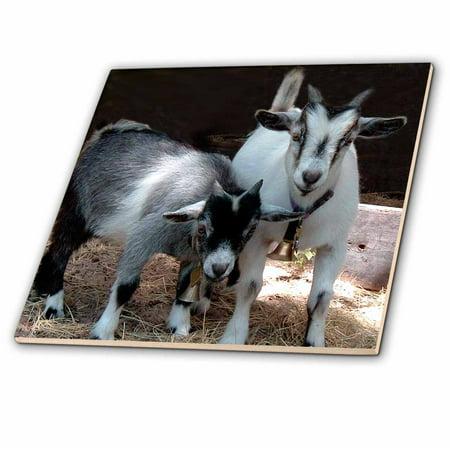 Goat Tile - 3dRose Pygmy Goat - Ceramic Tile, 4-inch