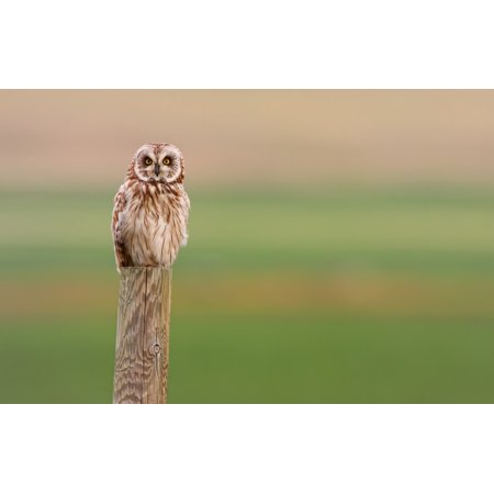 Short-Eared Owl Saskatchewan Canvas Art - Robert Postma  Design Pics (17 x 11) ()