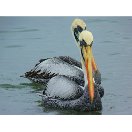 LAMINATED POSTER Couple Water Animal Nature Fish Pelicans Bird Poster Print 24 x 36 ()