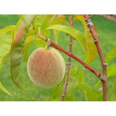 E40 Peach - LAMINATED POSTER Organic Food Fruit Peach Raw Home Grown Healthy Poster Print 24 x 36