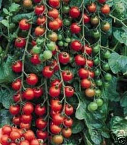 Tomato Small Cherry Basket Pack Garden Heirloom Vegetable 100 Seeds By Seed (Best Cherry Tomatoes For Hanging Baskets)