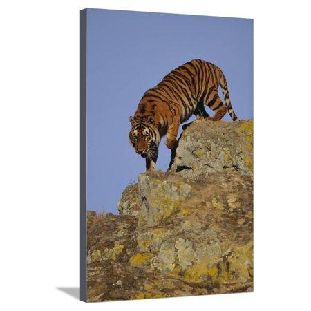 Bengal Tiger Climbing down Rocks Stretched Canvas Print Wall Art By DLILLC