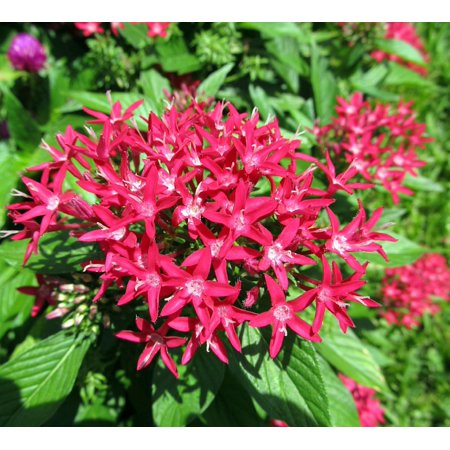 Laminated poster red red pentas flowers bloom close up penta plant laminated poster red red pentas flowers bloom close up penta plant poster print 24 x mightylinksfo