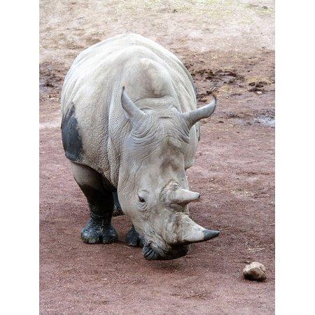 LAMINATED POSTER Rhinoceros Rhino Endangered Species Animal Horn Poster Print 11 x (Endangered Species Rhino)