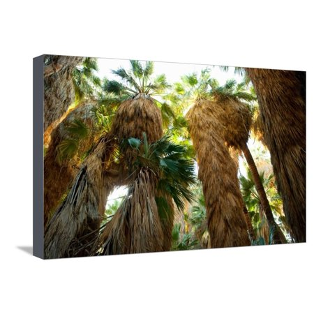 Low Angle View of Palm Trees, Palm Springs, Riverside County, California, USA Stretched Canvas Print Wall Art ()