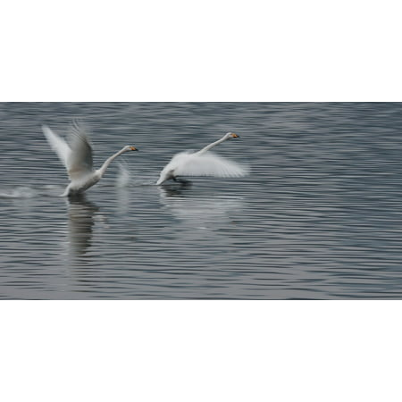 Swan Wing (Canvas Print Water Birds Swan Wings Competition Take Off Run Stretched Canvas 10 x 14 )